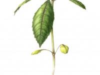 Springkraut Jungpflanze